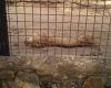 Choi! See the condition of a Lion in a zoo in Jos