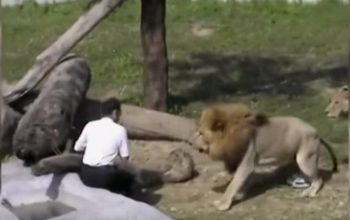 A crazy man jumps into the lions' den at a zoo. What happens next shocks all visitors!